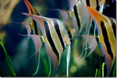be-ca-canh-angelfish_ongtien_thantien-be-thuy-sinh