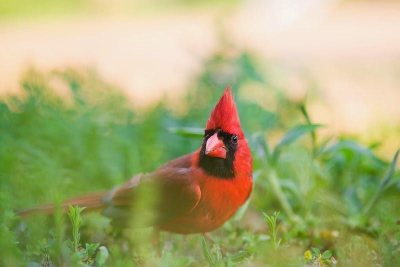 Cardinal-8563