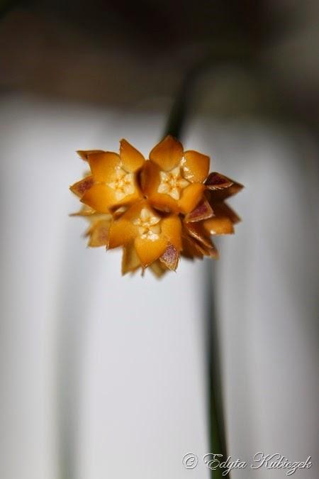 Hoya spartioides