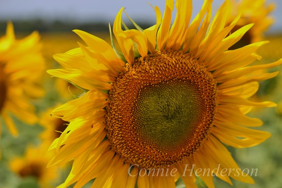 August 5 Sunflower