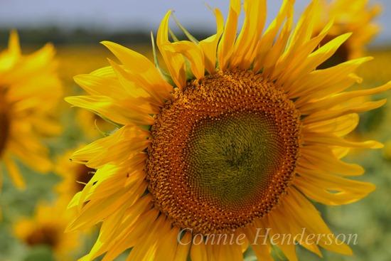 August 5 Sunflower