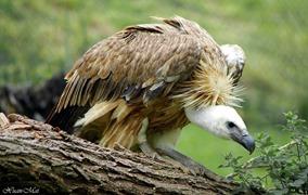 Argelès-Gazost vautour