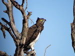 Martial eagle (photo by Clare) - Kruger National Park. This eagle was getting dive-bombed by a fork-tailed drongo.
