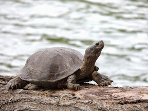 Tortoise at Kandy Lake