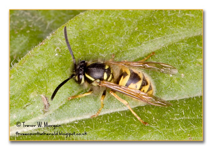 Bug Affair 6 Annoying  Wasp