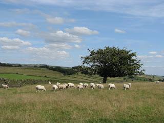 Lots of sheep