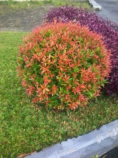 jual pohon pucuk merah harga murah tukang taman