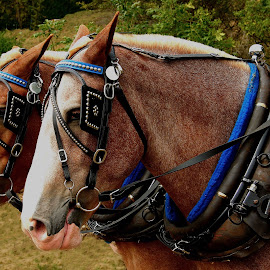 Heavy Horses by David W Hubbs - Animals Horses ( heavy horses, horses, horse, pulling horses, horse team, work horses )