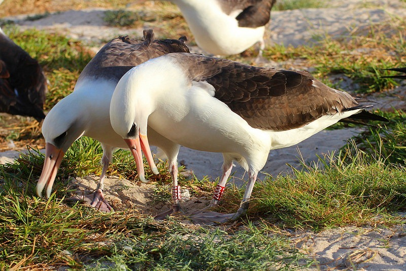 wisdom-albatross-2