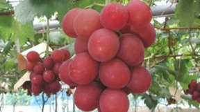uvas ruby_roman_grapes