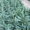 2-1 kaibab blue  spruce.jpg