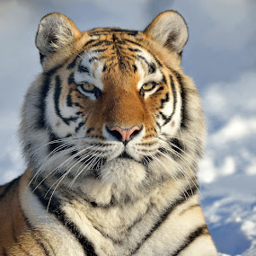 Siberian tiger by Ronnie Bergström - Animals Lions, Tigers & Big Cats ( animals, winter, cold, tiger, snow, siberian, nikon, portrait, sun )
