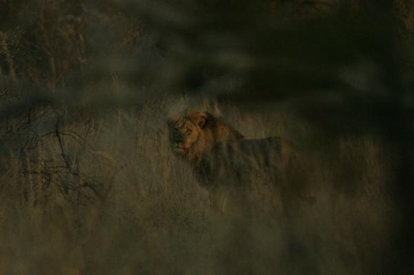 Jericho the lion is seen alive and roaming his park habitat in Zimbabwe on 2 August 2015, in this photo taken by Oxford University researcher Brent Stapelkamp, who tracks lions in Zimbabwe's Hwange National Park. Photo: Brent Stapelkamp
