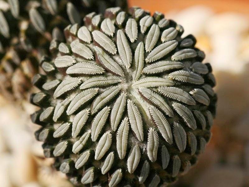 pelecyphora-aselliformis