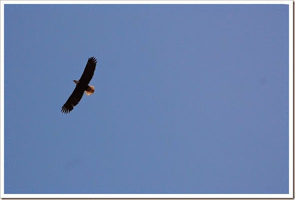 bald eagle soar