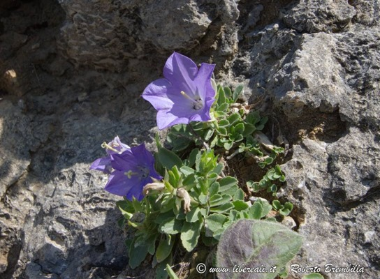 15_Campanula raineri_Cainallo-Bietti-000 (FILEminimizer)