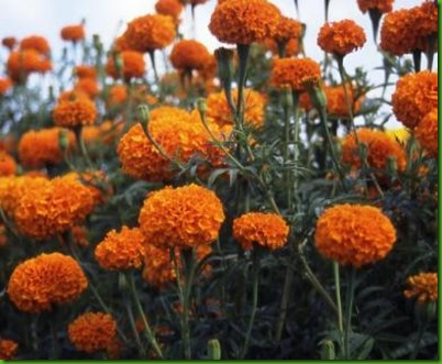 Tagetes Hawaii