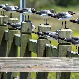 Birds on a Fence by Thomas Shaw - Animals Birds ( fort fisher, fence, post, wood, grass, legs, beach, feathers, birds, sea gull, coast, north carolina )