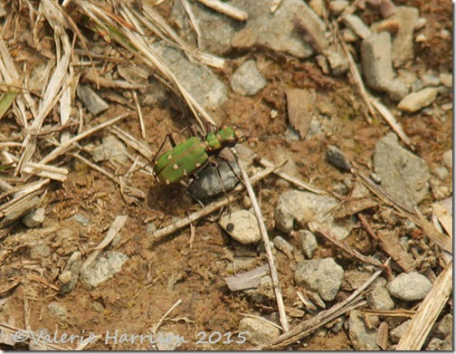 23-green-tiger-beetle