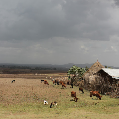 Open grazing of cattle and goats is common