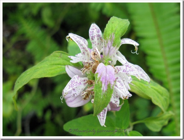 10-16-dotted-horsemint