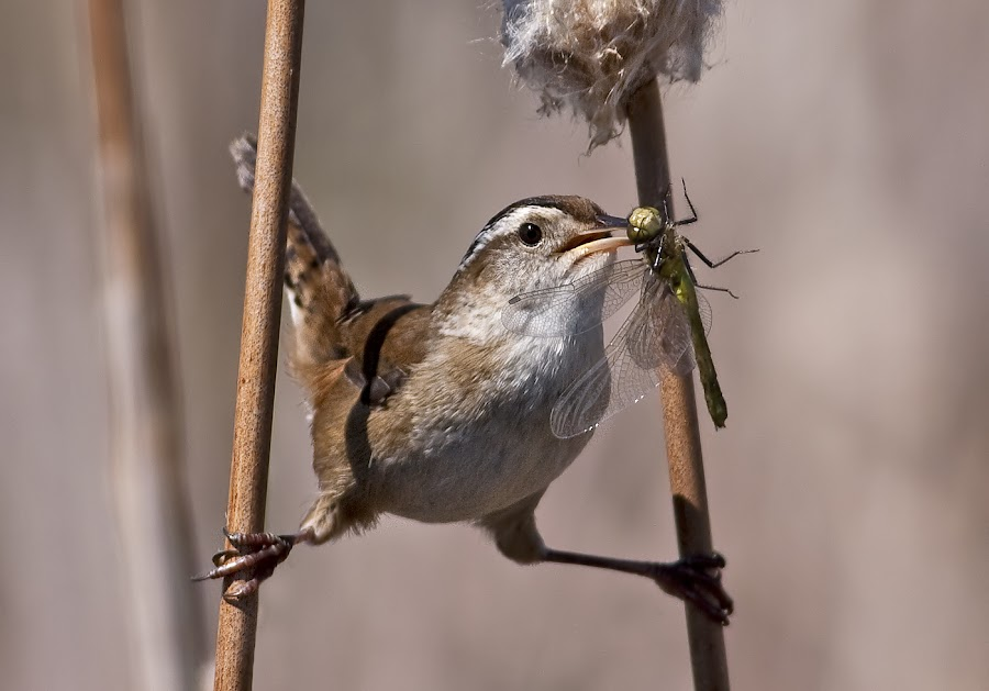 Marsh Wren / troglodyte des marais by Rachel Bilodeau - Animals Birds