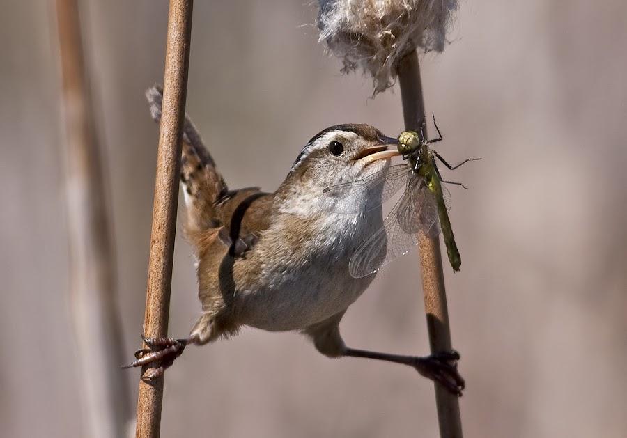 Marsh Wren / troglodyte des marais by Rachel Bilodeau - Animals Birds