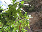 Velvet Ash, Buehman Canyon 4/22