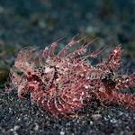 Lembeh Scorpionfish