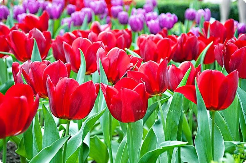 Tulips-(3)