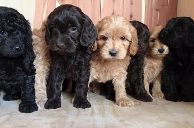 Gorgeousdoodles Labradoodles Puppies
