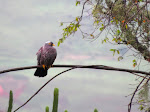 African olive pigeon at Xumeni Forest (photo by Clare)