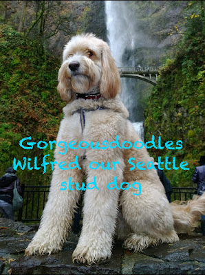 gorgeousdoodles wilfred stud dog