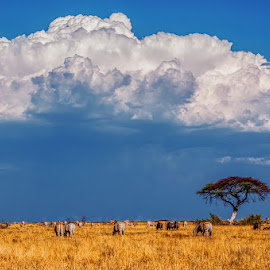 Etosha Storm by Johan Jooste Snr - Landscapes Prairies, Meadows & Fields ( clouds, animals, grass, etosha national park, plains, rain, zebras, namibia )