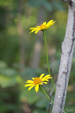 False Sunflower Heliopsis helianthoides