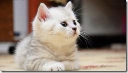 77- gatos blanco o crema (15)- buscoimagenes