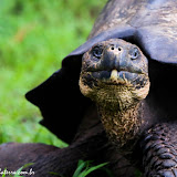 Tartarugas gigantes livres - Puerto Ayora, Santa Cruz - Galápagos, Equador