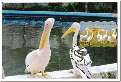 2062_Pelicanul comun_3-60lei