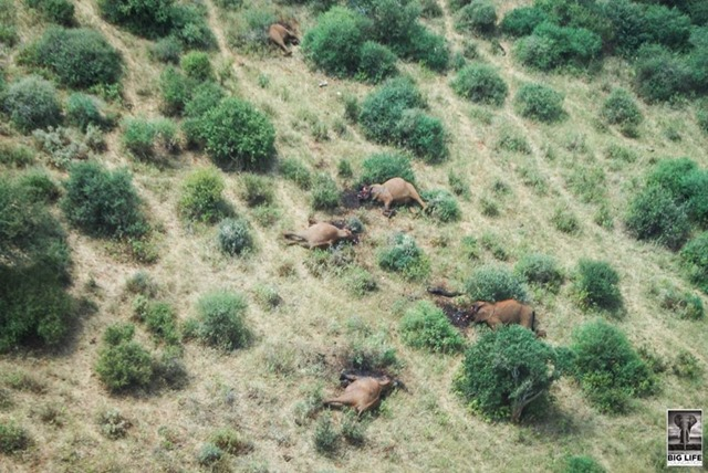 Aerial view of five elephant carcasses laid out on the dusty earth of Tsavo West National Park, the remains of a family. The gruesome scene, found on 28 July 2015 sparked a huge coordinated effort, led by the Kenya Wildlife Service (KWS), to catch the killers. Photo: Big Life Foundation / Kenya Wildlife Service