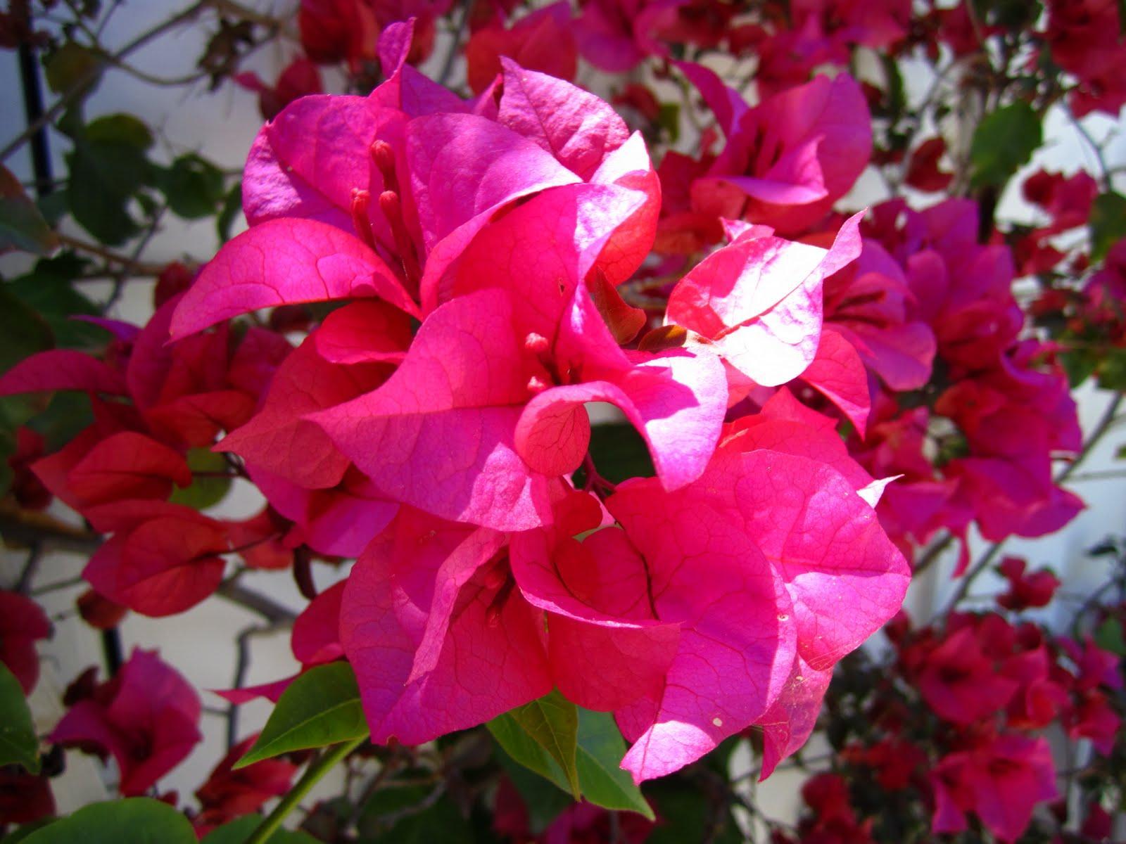 Hot pink bougainvillea in my