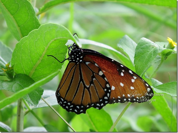 Queen_Butterfly1