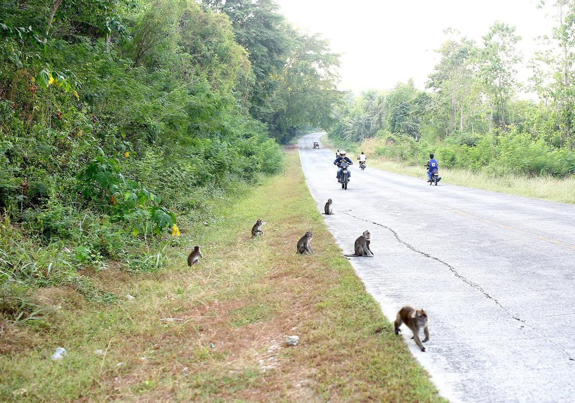 Image of Philippine Monkeys are Now on the Road Begging for Food