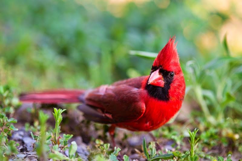 Cardinal-8564
