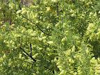 Catclaw Acacia 5/12