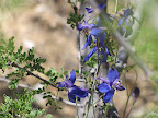 Tall Mountain Larkspur close-up, AZ Trail 4/29