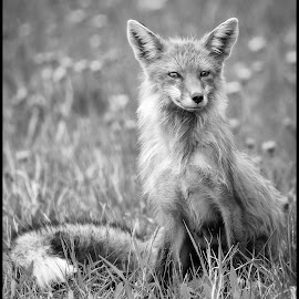 Red Fox Female by Dave Lipchen - Black & White Animals ( red fox female )