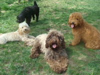 Look, red, chocolate, golden blond and black Australian Labradoodles in all sizes.
