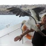 Atobá carente - Española - Galápagos