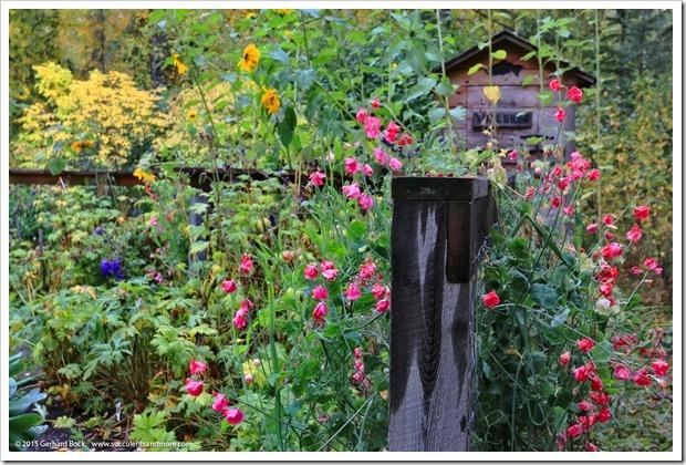 150911_AlaskaBG_Elegance_Salmon_Rose_sweetpea