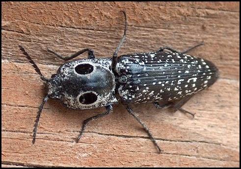 Eyed Elater (Alaus oculatus) 1